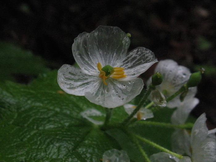 Двулистник Грея — цветок, который боится воды