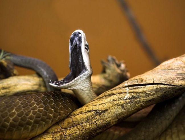 Черная мамба. Отличительной особенностью этой змеи является абсолютно черная пасть. В открытом состоянии ее форма похожа на гроб, что придает еще более зловещий вид этому существу