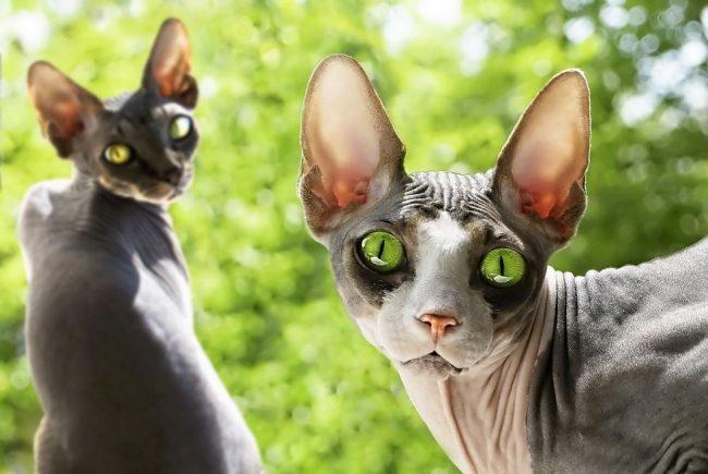 Донской сфинкс быстро усваивает новые правила. Котят приучить к лотку не составит никакого труда. Взрослое животное легко адаптируется при изменяющихся обстоятельствах