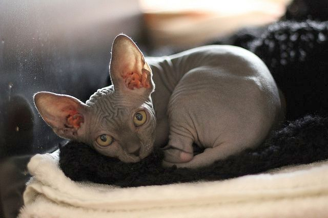 Котейка не любит надолго оставаться в одиночестве. Сфинкс не подходит тем людям, которые приходят домой только для того, чтобы ужинать, ночевать и опять уходить рано утром на работу