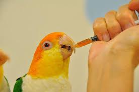 Как лечить отравление у птиц