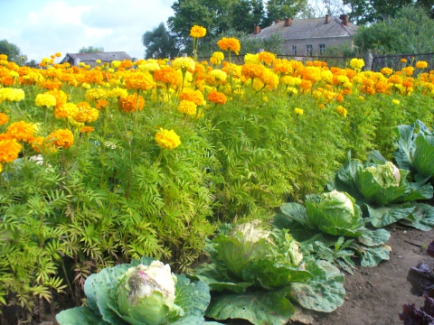 Какие цветы сажать возле капусты 53