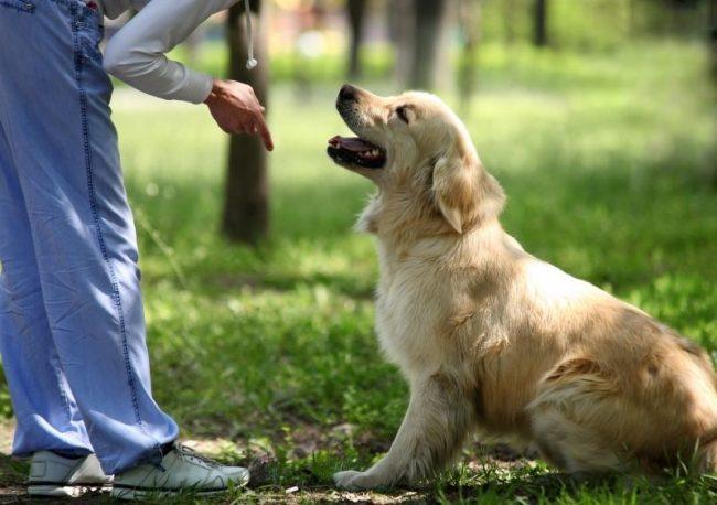Щенок всегда будет искать зрительного контакта с хозяином