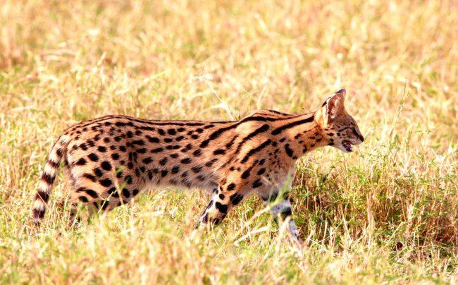 Охотничьи инстинкты берут верх даже над самой домашней кошкой