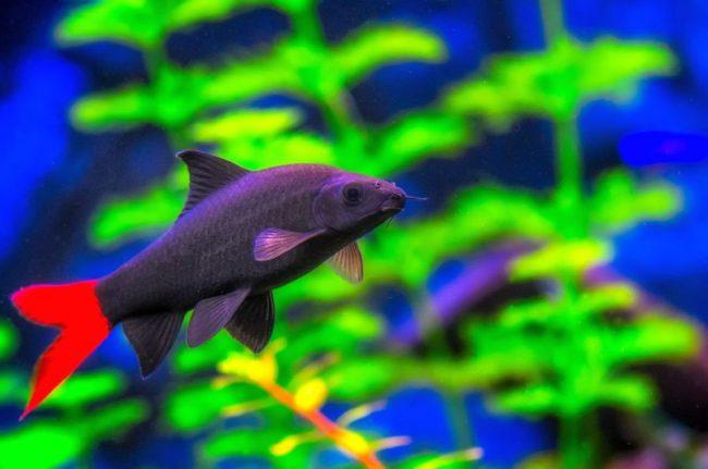 Лабео двухцветный ведет себя очень активно в аквариуме