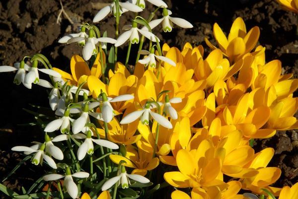 Подснежники и крокусы появляются весной одними из первых
