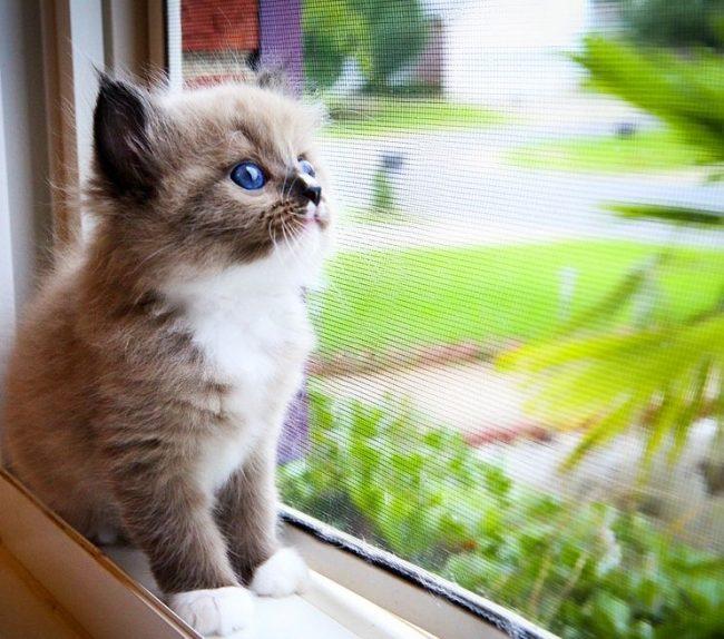 Котенок рэгдолл заскучал, видимо, давно хозяин не обращал на него внимание