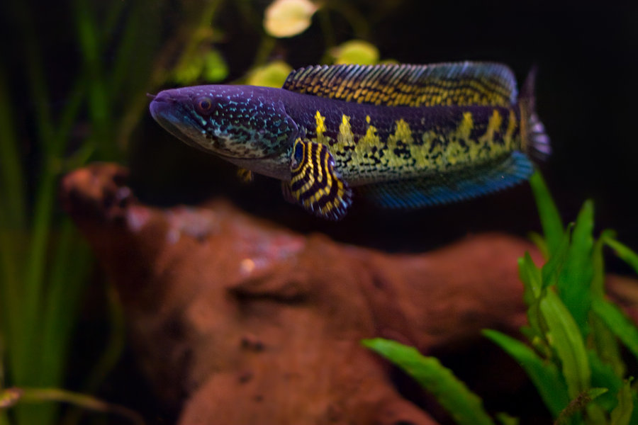Золотая кобра