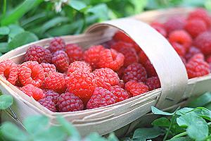 Как повысить урожайность обычной малины в 5 раз