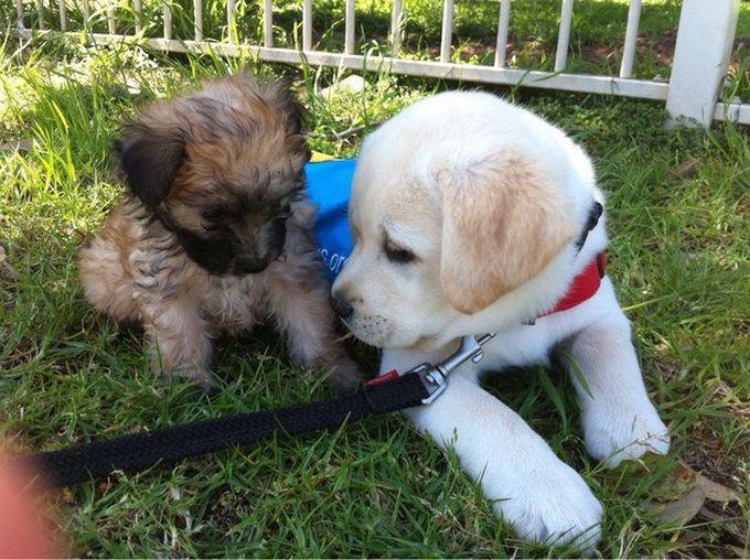 3. И они очень дружелюбны и всегда рады новым знакомствам животные, лабрадор, собаки