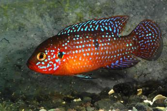 Хромис-красавец (самец), самый яркий представитель цихлид 1.