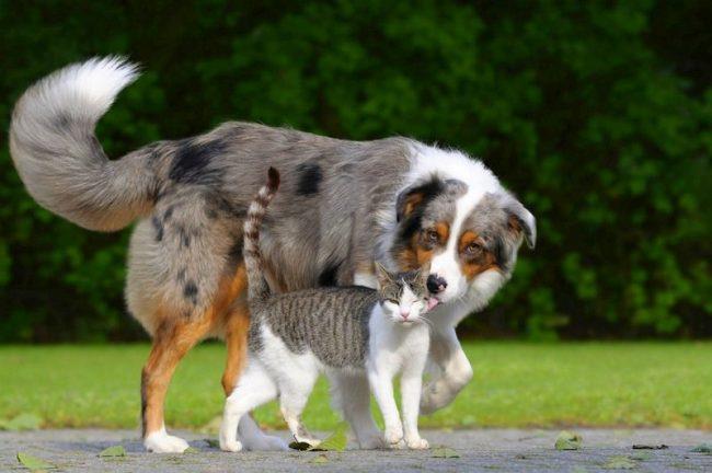 Отодектоз – очень распространенное заболевание. В большей мере от него страдают кошки, но подвержены ему и собаки, и даже домашние хорьки. Все они могут быть переносчиками клещей
