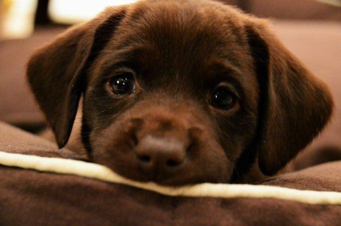 4. Они нежные, ласковые и очень милые животные, лабрадор, собаки