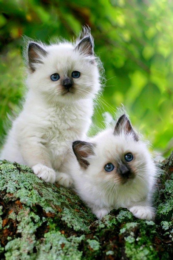Любопытные котята рэгдолл