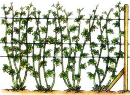способ посадки малины рядами