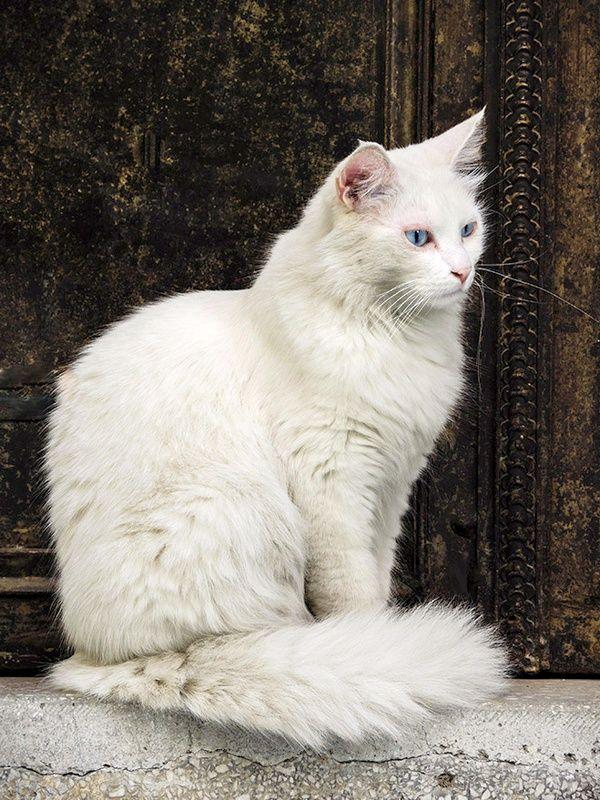 Ангору часто можно встретить у входа в турецкие святыни. Интересный факт, что в мечети могут входить только кошки, обладающие разноцветными глазами