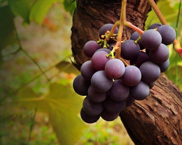 Чем укрыть виноград?