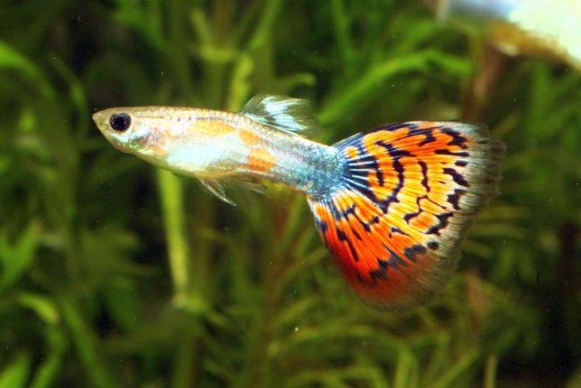 Гуппи - самые популярные аквариумные рыбки