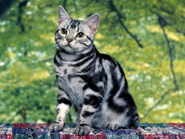 Из покон веков американская короткошерстная кошка считалась прекрасным охотником. Все знали, если в доме есть эта киса – грызунам несдобровать. Так и сейчас кошка, живущая в частном доме, с удовольствием истребляет мышей