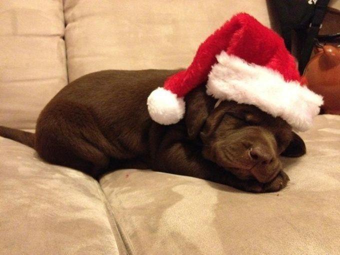 5. … даже когда спят животные, лабрадор, собаки