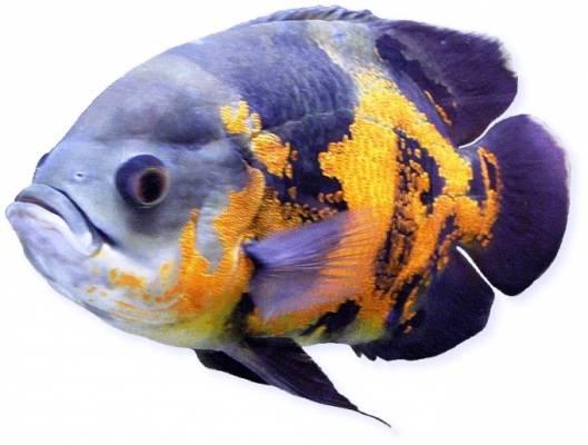 Аквариумная рыба Астронотус (Astr