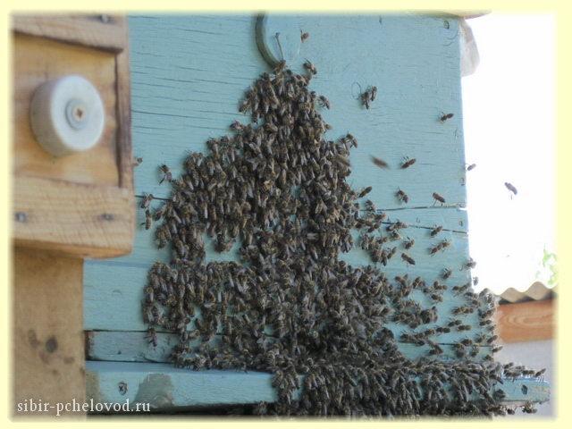 рой пчел прилетел в пустой улей