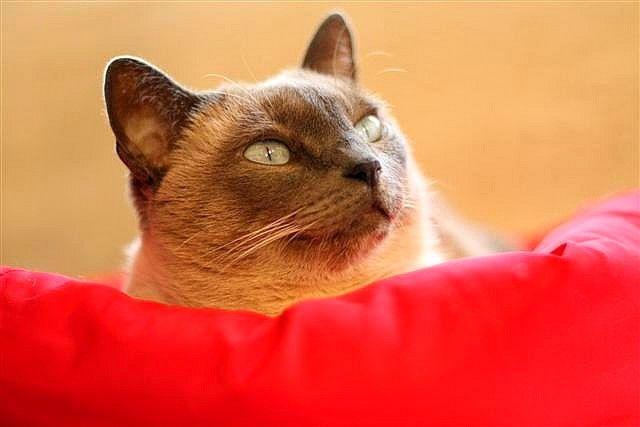 Рыжие сиамские кошки - настоящая редкость