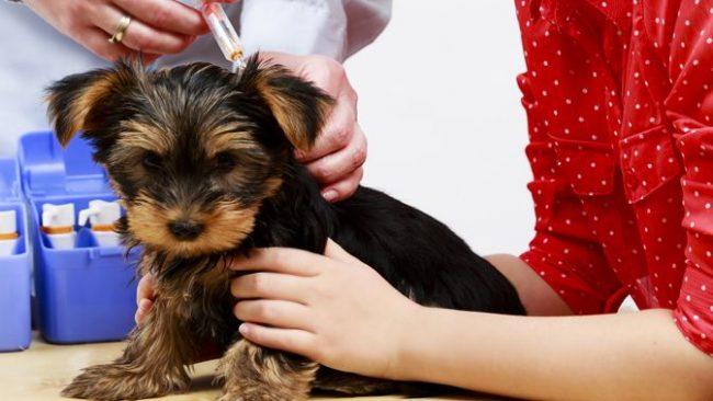 Во время процесса вакцинации щенку необходима поддержка хозяина