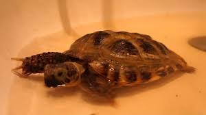 Купание черепахи