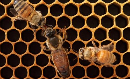 Пчелиные матки