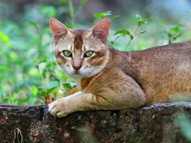 Камышовый кот - отличный охотник