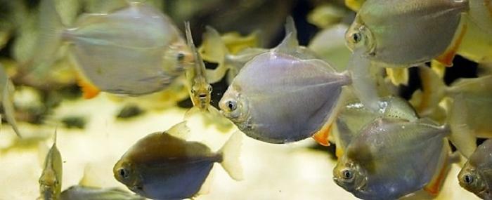 Стайка метиннисов в аквариуме.