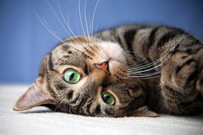 Американская короткошерстная кошка с удовольствием принимает ухаживания по отношению к себе и отвечает безграничной лаской и нежностью. Она любит умоститься у хозяина на коленях и затянуть мурлыкающую мелодию