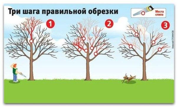 Как вернуть деревьям былую силу [три шага правильной обрезки]