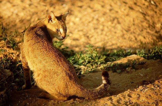 Камышовая кошка имеет гладкую, блестящую на солнце шерсть