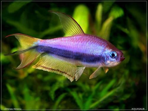 Пальмери/Королевская тетра (Nematobrycon palmeri) аквариумная рыбка.