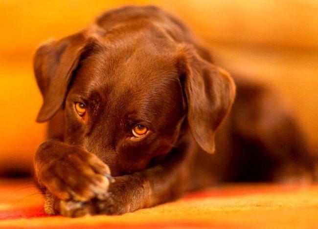 Чтобы избежать заболевания, в первую очередь, собака должна иметь сильный иммунитет, способный противостоять проникновению инфекции. Также не следует давать возможность контактировать с больным животным или тем, у которого есть подозрение на стафилококк