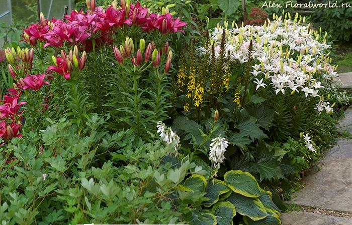 С какими цветами можно сажать лилии фото 33
