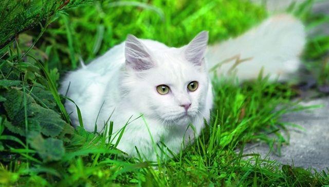 В Турции – откуда этот хищник родом – белоснежной кошке разрешено заходить в мечеть, если у нее неодинаковые глаза