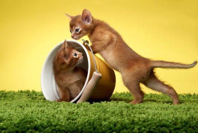 Шаловливые рыжие абиссинские котята