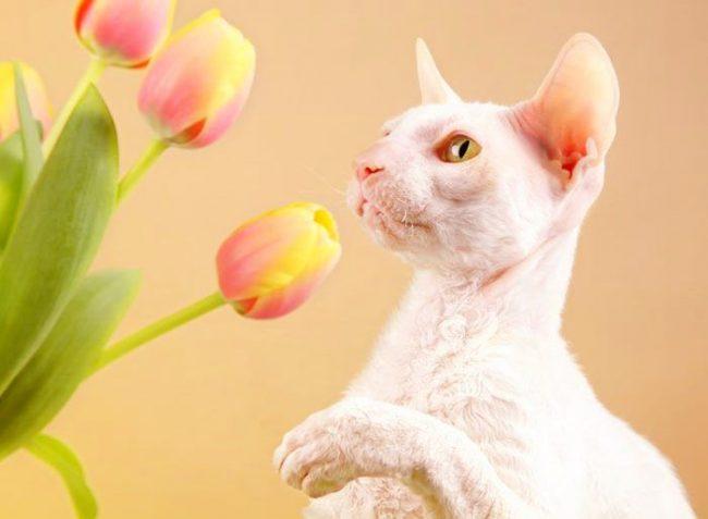 Корниш-рекс - умный и преданный кот, который не будет обременять хозяев уходом за собой