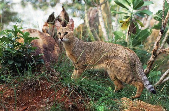 Изящная кошка поражает своей грациозностью, пластичностью и подвижностью