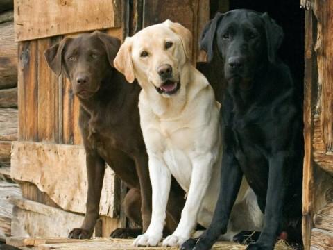 В США составили рейтинг самых умных пород собак