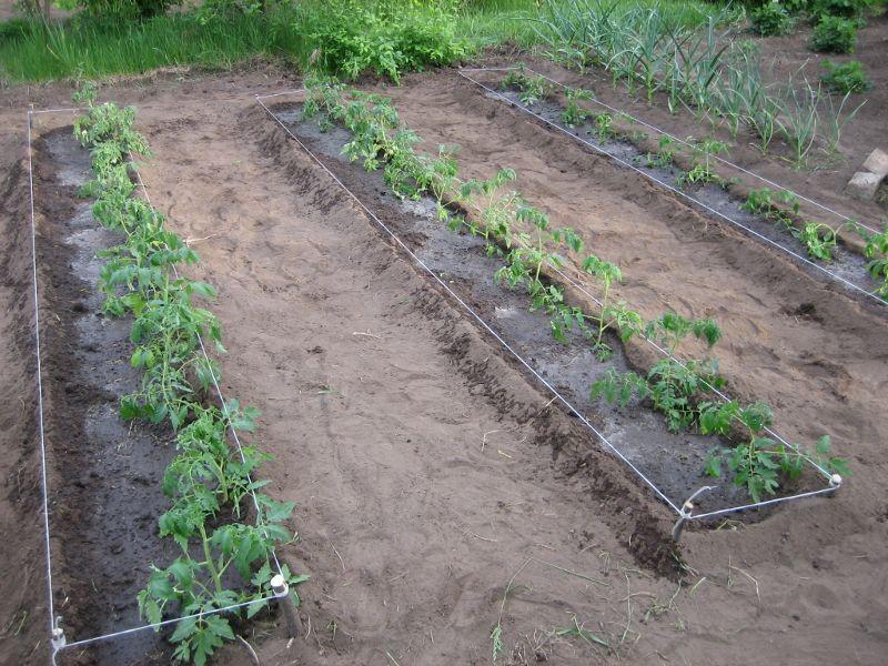 Vyirashhivanie-tomatov-na-uzkih-gryadkah
