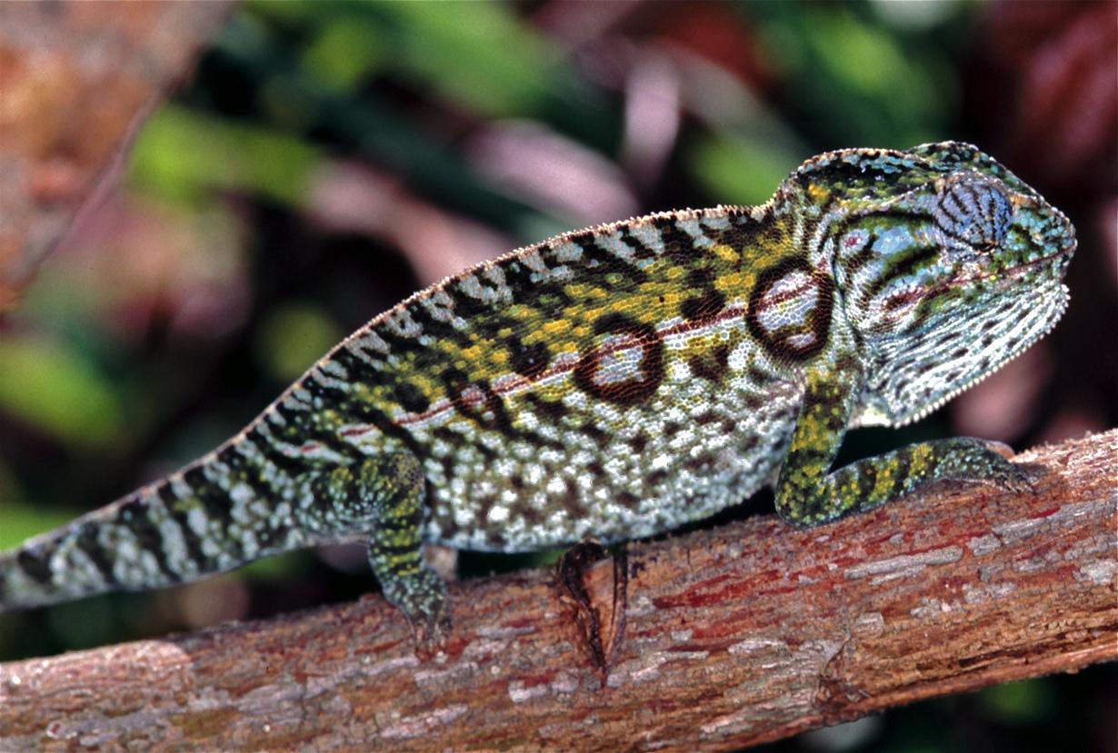 Ареал обитания — Мадагаскар. (Bernard DUPONT)