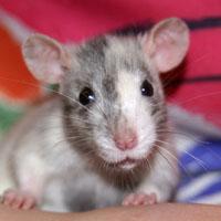 Уникальная трехцветная крыса