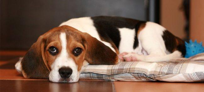 Дерматит у собак атопический аллергический блошиный