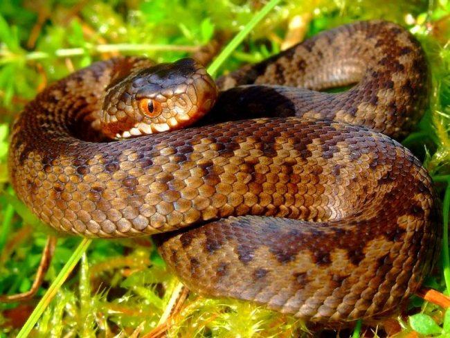 Змеи являются пресмыкающимися, поэтому предпочитают теплый климат. Это не относится к гадюке. Ареал ее распространения простирается от Великобритании и Франции на западе до Сахалина и Кореи на востоке. В Европе гадюку можно встретить, как в высокогорных лесах Италии и южной Франции, так и на Скандинавском полуострове