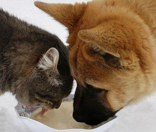 Почему кошки пьют аккуратнее собак?
