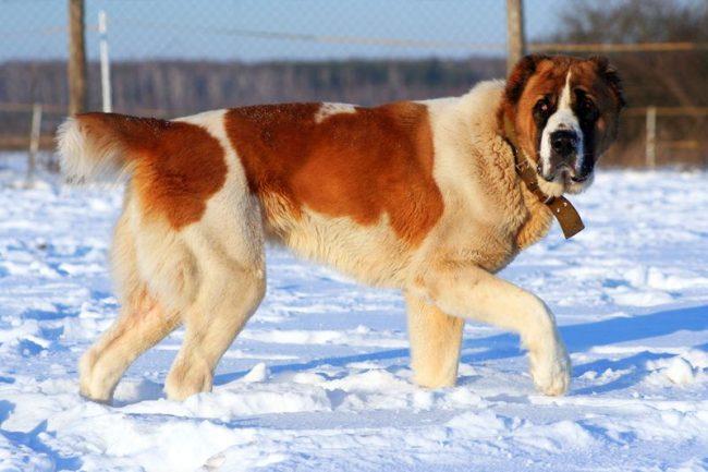 Это лучшая порода для пастухов. На протяжении веков чабаны отбирали только лучших собак